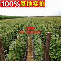 出售各种优质葡萄苗  红提葡萄苗 提子苗 欢迎前来选购