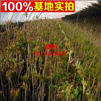 香椿苗 可食用 红芽香椿【红油香椿】树苗 可盆栽/地栽
