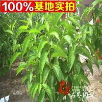 【名界园林】供应各类工程苗  常年供应 各种乔木 杜仲苗