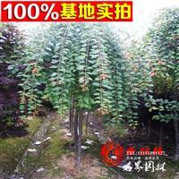 名界园林供应苗木  各种乔木 高杆垂枝梅