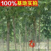 批发千头椿苗 绿化香椿树 绿化苗 规格全 量大优惠