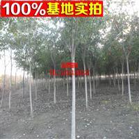 【名界园林】 基地直销 山桐子 数量大 价格低