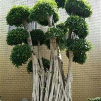 福建造型榕树价格 福建造型榕树报价 福建造型小叶榕树基地