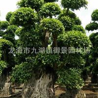 福建造型提根榕树桩价格 福建造型提根小叶榕