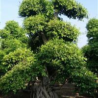 福建大型榕树桩头报价 福建榕树桩景价格