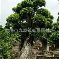 福建造型榕树桩价格