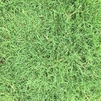 马尼拉草坪、百慕大、黑麦草!