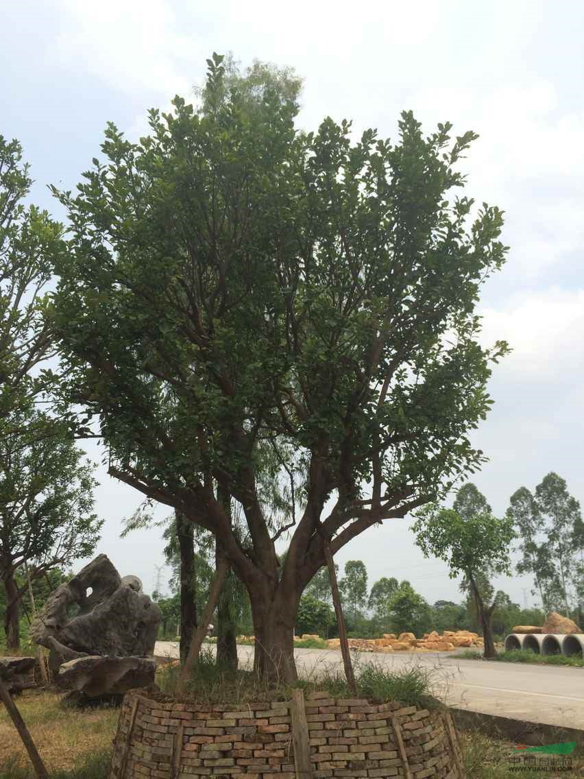 香泡树柚子树-香泡树