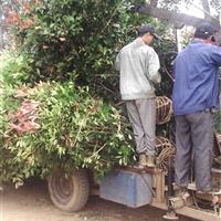 红叶石楠介绍 红叶石楠球价格 红叶石楠树价格