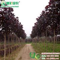 四季红杨 景观彩叶树 全红杨树苗报价 四季红杨小苗供应包成活