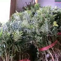 常绿三尖杉植物