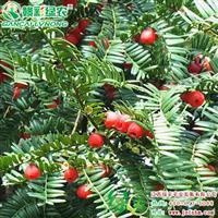 南方红豆杉 空气净化树种 红豆杉树苗 南方红豆杉小苗供应采购