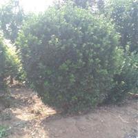 大叶黄杨球-山东招远自家种植大叶黄杨球--量大