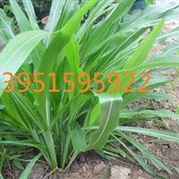 哪里有甜高粱高丹草用途苏丹草皇竹草杂交狼尾草种子一斤多少钱