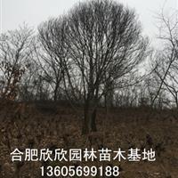 安徽合肥供应板栗树、合肥板栗价格、肥西供应1-30公分板栗