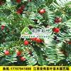 江西南方红豆杉2