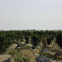 红豆杉,曼地亚红豆杉,南方红豆杉,云南红豆杉