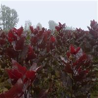供应红叶杨批发 护坡绿化 苗木 工程绿化 量大价格优惠