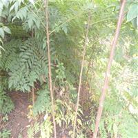 大量供应苦楝树苗 工程绿化苗木苦楝 规格齐全 品质保证