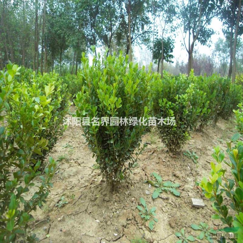绿篱色块类用苗 常绿植物 小叶黄杨