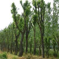 基地直销 皂角树小苗 皂角树小苗 各种规格皂角树 价格从优