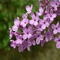 供應紫丁香 紫丁香價格 紫丁香綠籬 紫丁香工程苗