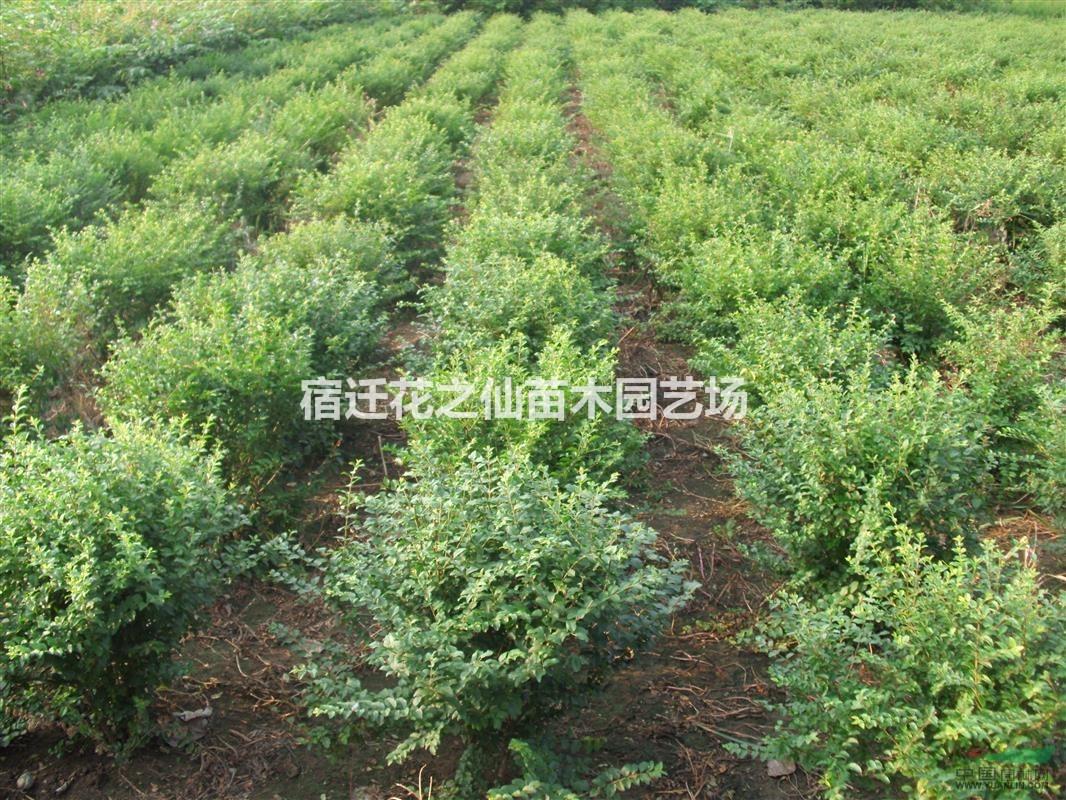 常年大量销售各种规格绿化苗木