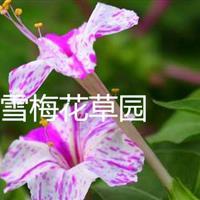 紫茉莉,胭脂花、洗澡花、夜繁花、夜来香、夜娇娇、潮来花、