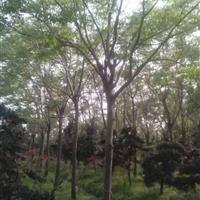 30公分合欢价格秋季福榕树价格