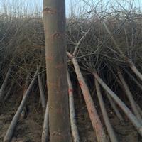 急售柳树100万株,3-10厘米规格全,质优价廉