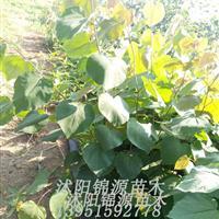 批发零售巨紫荆苗,巨紫荆小苗 品种纯正