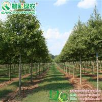 柳栎 适应性强 观赏价值高 柳栎树苗 彩栎小苗供应包成活