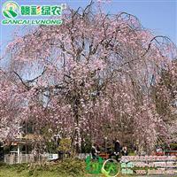 八重红枝垂 红枝垂樱树苗 垂枝樱花苗木生产基地|江西绿农