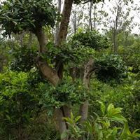 枸骨树、月季、水仙花、绿箩、罗汉松、金钱树,巴西木