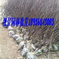 榆叶梅2-6公分价格 榆叶梅适应新疆种植 榆叶梅基地