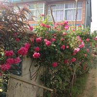 红花蔷薇月季价格 爬藤月季120公分高 蔷薇苗快递发货