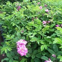 江苏供应四季玫瑰苗 耐寒四季玫瑰50公分高 四季玫瑰最新价格