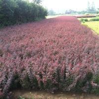 江苏红叶小檗价格 红叶小檗30-60公分高 红叶小檗基地