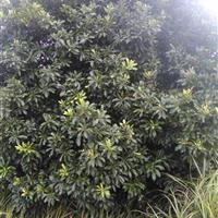 湖北咸宁艺家百年苗木基地常年供应各种绿化2-3.5米冠杨梅球