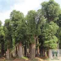 湖南香樟价格,供应直径10-50公分移栽香樟,柏加香樟基地