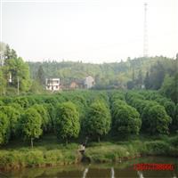 湖南桂花树,5-8-10-15-20公分桂花树价格,湖南金桂
