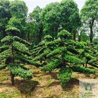 造型罗汉松罗汉松盆景 8-10-12-15-20公分罗汉松树