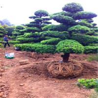 湖南罗汉松盆景树桩罗汉松树、罗汉松球、罗汉松小苗及罗汉松报价