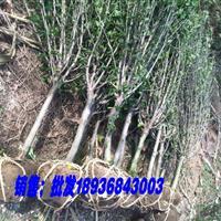 供应重瓣木槿1-6公分 .独杆木槿价格. 丛生木槿图片
