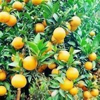 黄岩桔子苗30-60公分.江苏桔子苗价格 黄岩桔基地