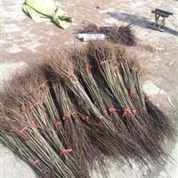 嫁接石榴苗1米高 石榴苗基地 软籽石榴供应商