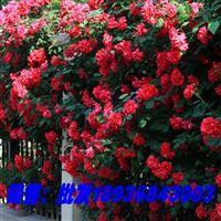 无刺蔷薇苗价格 大花蔷薇基地价格 蔷薇攀岩爬藤