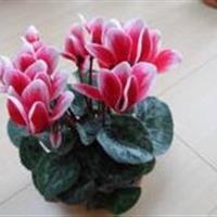 杜鹃花 仙客来 瓜叶菊 四冬季没有暖气那就养一些耐寒的花卉吧