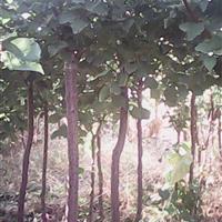 杏树 香椿苗 皂角苗 国槐苗 油松苗