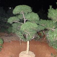 长沙地区供应造型 日本黑松景观树